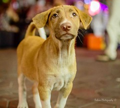 Street-pup-doggy (Robica Photography) Tags: thailand bangkok night evening dark dim brown dog puppy eyes chest aperture lovely animal