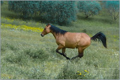 Cheval_Francesco_3 (italo.foto) Tags: italia fratticiola italofoto cavallo cheval d610 animaux nature horse perugia perouse
