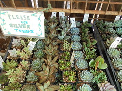 DSC02743 (classroomcamera) Tags: succulent succulents plant plants green flower flowers flowery flowering grow grows growing growth buy buys buying shop shops shopping shopper shoppers buyer buyers shadow shadows shadowy wood wooden display displays sign signs signage