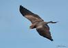 Yellow-Billed Kite (Ukfalc) Tags: yellowbilledkite kite milvusaegyptius bird birdofprey raptor icbp internationalcentreforbirdsofprey newent gloucestershire canon 7dii 70300l 2018
