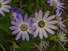 Spring flowers (frankmh) Tags: plant flower spring sofiero helsingborg skåne sweden macro