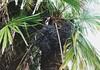 Palm Fruits (Torquay Palms) Tags: torquay torbay tor bay the english riviera south devon westcountry uk united kingdom gb great britain england trachycarpus fortunei tfortunei chusan palm fruit seeds