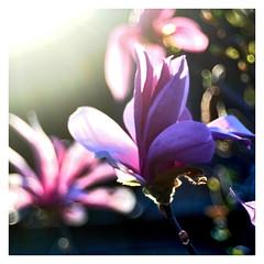 Magnolia (mechanicalArts) Tags: meyer optik görlitz 50mm magnolie magnolia
