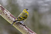 Eurasian siskin ♂ (Spinus spinus) (Rosehip Mike) Tags: eurasian siskin finches finch birds british bird photography britain bokeh europe nature england english united kingdom wildlife red colourful colour common uk passerine posing pose poser perch perched adult small spring summer song outdoor animal male