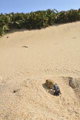 Ateuchetus semipunctatus (Mat.Tauriello) Tags: ateuchetus semipunctatus ateuchetussemipunctatus scarabaeus scarabaeussemipunctatus scarabeo stercorario scarabeostercorario dung beetle dungbeetle beetles dungbeetles afsnikkor1635mmf4gedvr nikond7100