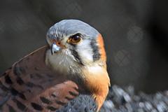 American Kestrel (U.S. Fish and Wildlife Service - Midwest Region) Tags: nature mn bloomington 2018 bird birding falcon minnesota spring seasons wildlife april animal
