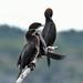 Pygmy cormorants_02