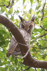 African Scops Owl (arthurpolly) Tags: avian avianexcellence abigfave africanscopsowl africa birds beautiful canon 7dmk2 100400is eos elements13 flickrdiamond nature natureselegantshots nationpark owl photoshop wildlife exotic tanji