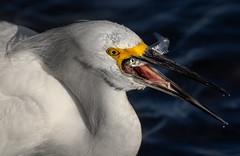 Last look :-( (bodro) Tags: bolsachica bird birdfeeding birdfishing birdwithfish birdphotography ecologicalreserve egret lastcatchoftheday lastraysofsun lateafternoonlight shallows smelt snowy tiny wetlands