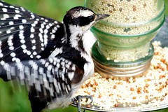 Hairy Woodpecker, Female (Anne Ahearne) Tags: wild bird animal nature wildlife feeder seeds feeding woodpecker hairywoodpecker birdwatching