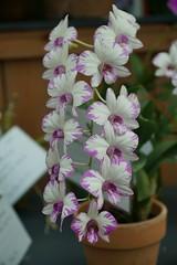Dendrobium DSC01658 (benhosg) Tags: orchidextravaganza gardensbythebay flowerdome