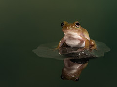 Whites Tree frog pond reflection (The-Hawk) Tags: whites tree frog amphibian reflection pond nikon d800 macro