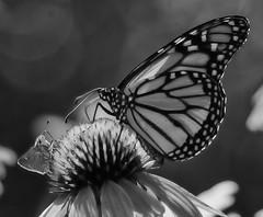 MonarchButterfly_SAF2518-2 (sara97) Tags: danausplexippus butterfly copyright©2018saraannefinke endangered insect missouri monarch monarchbutterfly nature photobysaraannefinke pollinator saintlouis towergrovepark towergrovepark2018 monochrome bw blackandwhite blackwhite