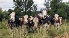 [2.Etappe] Kühe (ponzoñosa) Tags: vacas cows kuhe prado german following day blackforest posado donau danubio bike bikers