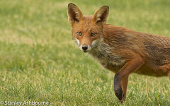 Red Fox...a close encounter. (stanley.ashbourne) Tags: redfox nature wildlife stanashbourne
