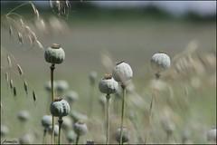 La vie s'égrène ..... (Armelle85) Tags: extérieur nature fleur flore calice coquelicot macro plante