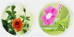 twice Two in romantic Style ... ◔◔ღ ◔◔ღ (ljucsu) Tags: flowers macro flowersmacro plants thetwo outdoor collage flowers~collage flowerbeginning flowerglamor summer summerflowers miniaturerose annualvinca ngc npc