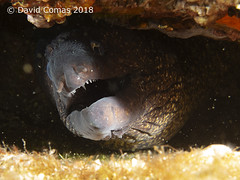 Roses - Punta del Mero (CATDvd) Tags: canonpowershots120 fotosub underwaterphotography catalonia catalunya parcnaturalcapdecreus puntadelmero roses july2018 catdvd davidcomas httpwwwdavidcomasnet httpwwwflickrcomphotoscatdvd morenavera muraenahelena morayeel morena