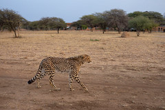 L1009245 (Ivan Lau) Tags: namibia cheetahconservationfund