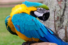 Turning Head - Blue-and-yellow Macaw (terrywongyl) Tags: blueandyellow macaw blueandgold blue gold yellow