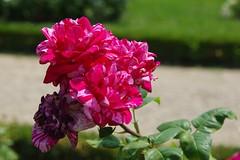 JLF17926 (jlfaurie) Tags: jardin garden bagatelle paris france francia parc parque 22072018 mpmdf jlfr jlfaurie mechas roseraie fleurs roses rosas