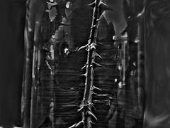 Do Not Disturb (TwinLotus II) Tags: blackwhite thorny thorns sharp disturbing hss betrayed