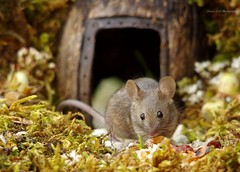 wild house mouse in a log pile house (6) (Simon Dell Photography) Tags: house mouse log pile door coconut mossy moss logs wood stack garden wild wildlife cute funny detail close up awesome viral ears eyes george mini mildred sheffield s12 hackenthorpe decorated summer images mice two mouses animals rodents