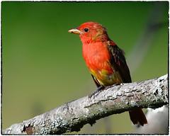 Summer tanager (RKop) Tags: d500 nikkor600f4evr 14xtciii raphaelkopanphotography kentucky carrolcounty