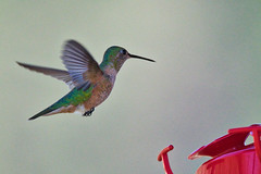 Hummingbirds at Tererro DSC_3447 (garycascio) Tags: hummingbirds woodpecker lewisswoodpecker tererronewmexico tererro newmexico featheredfriends birdsofnewmexico southwest southwestbirds audubon
