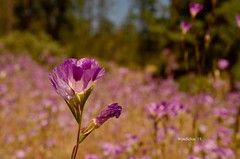 (WendieLarson) Tags: wickedhair wendielou wildflower wildflowers wendielarson flower fleurs flowers fiori flora flores d7000 sierranevada sequoianationalpark california color bloom bigmeadows nikon nature nationalparks mountains macro meadow landscape landscapes petals pink plant plants purple outside outdoors clarkia aster