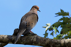Mourning Dove (Jan Nagalski) Tags: dove mourningdove zenaidamacroura nature wildlife corkscrewswampsanctuary florida jannagalski jannagal