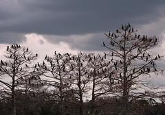 The Birds (npbiffar) Tags: outdoor water lake tree animal bird dark spooky 1685mm d7100 nikon npbiffar sky
