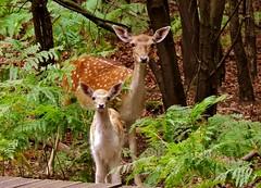 Mother and calf @ AWD (YDekkers) Tags: awd deer calf animal