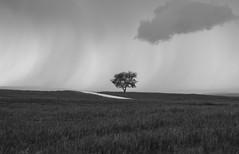 Storm Coming for Tree (corybeatty) Tags: moody sky alberta canada tree landscape monochrome mono rain storm clouds evening road