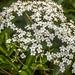 Minie Flowers