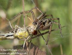 Labyrinth spider-5 (Neil Phillips) Tags: agelenalabyrinthica agelenidae arachnida araneae labyrinthspider arachnid arthropod arthropoda bug invertebrate spider