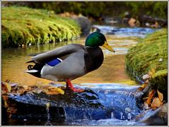 THE FOOT WASH (Gary Post) Tags: the foot wash mallard duck