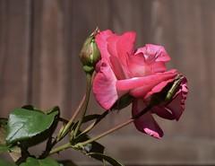 Pink Rose #1 (MJ Harbey) Tags: flower rose rosa pinkrose garden nikon d3300 nikond3300 rosebuds leaves roseleaves petals rosepetals
