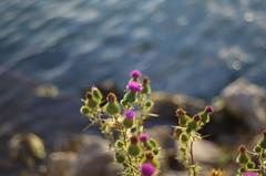 See flowers (Baubec Izzet) Tags: baubecizzet pentax bokeh flower nature