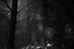 Woodland Web