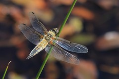 Four Spotted Chaser. (BIKEPILOT, Thx for + 4,000,000 views) Tags: thursley surrey uk thursleycommon nationalnaturereserve nnr siteofspecialscientificinterest sssi nature naturalworld wildlife insect dragonfly fourspottedchaser wings heathland