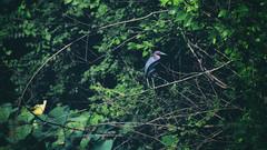 The magnificent Little Blue Heron. (amy buxton) Tags: amybuxton stlouis natural nature botanical forestpark forestparkforever deerlake deerlakenaturalarea summer midwest heron animals birds littleblueheron instagram