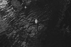 water my fire VIII (Mindaugas Buivydas) Tags: lietuva lithuania bw autumn fall october lake tapeliailake tapeliųežeras kairėnųmiškas kairėnaiforest mindaugasbuivydas whiteinblack
