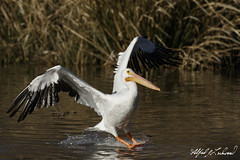 American White Pelican_20A1369 (Alfred J. Lockwood Photography) Tags: alfredjlockwood nature bird pelican flight americanwhitepelican landing whiterocklake water winter afternoon texas grasses