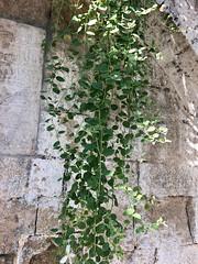 Caper Plant (RobW_) Tags: caper plant nafplion argolis peloponnese greece thursday 26jul2018 july 2018