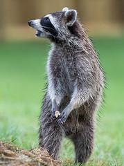 Raccoon (Elizabeth Wildlife) Tags: raccoon animal mammal