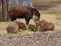 Tapir et capybaras (Raymonde Contensous) Tags: tapir capybaras parczoologiquedeparis zoodevincennes animaux nature fabuleuse