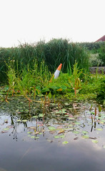 Southbourne off limits (Stephanie Overton) Tags: samsung phone traffic cone orange highlight dump pond green grass water plant