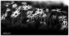 Colour Emptiness / 色既是空 (T.Jeffrey Photo Gallery) Tags: 佳能 新加坡 亞洲 光影 黑與白 花朵 影像 戶外 寫生 自然 旅遊 畫面 靜物 lightroom blackandwhite minimalist canon singapore light asia noflash outdoor flower nature journalism fineart