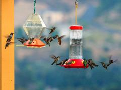 We're gonna need a bigger feeder (classymis) Tags: classymis hummingbirds hummingbirdfeeder birds feeder bird hummer feedingfrenzy